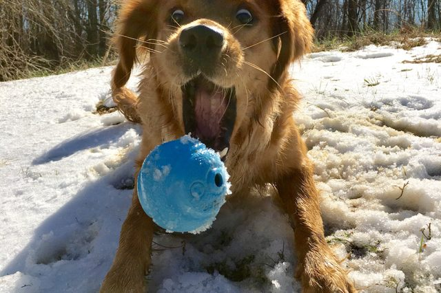 Dog playing fetch in the snow