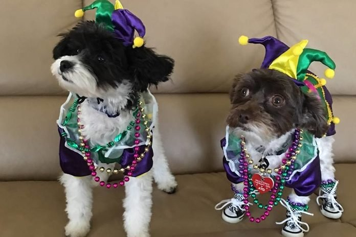 Two black and white dogs dressed in Mardi Gras attire