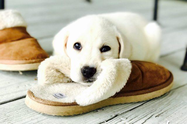 White puppy resting on a slipper