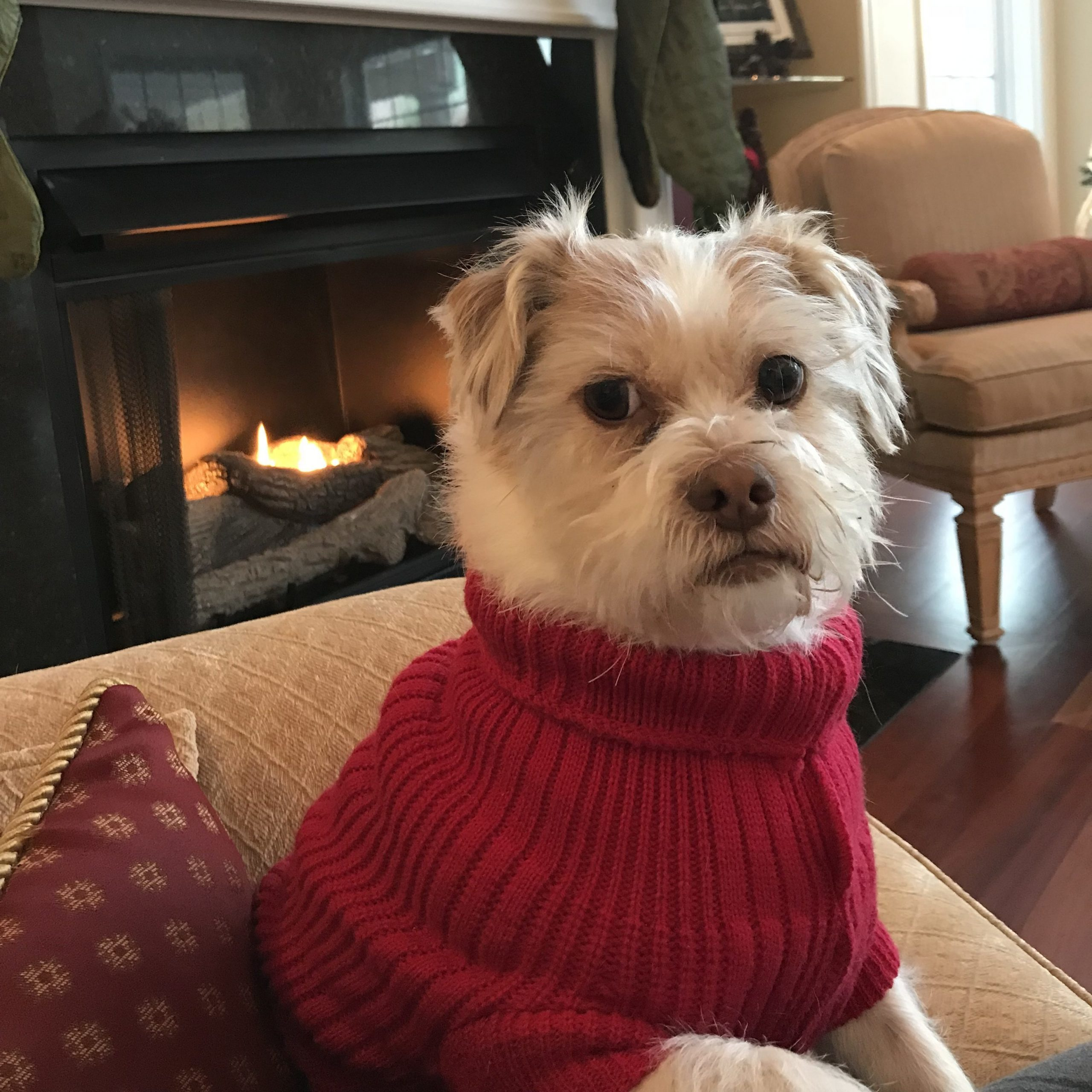 Dog in red sweater