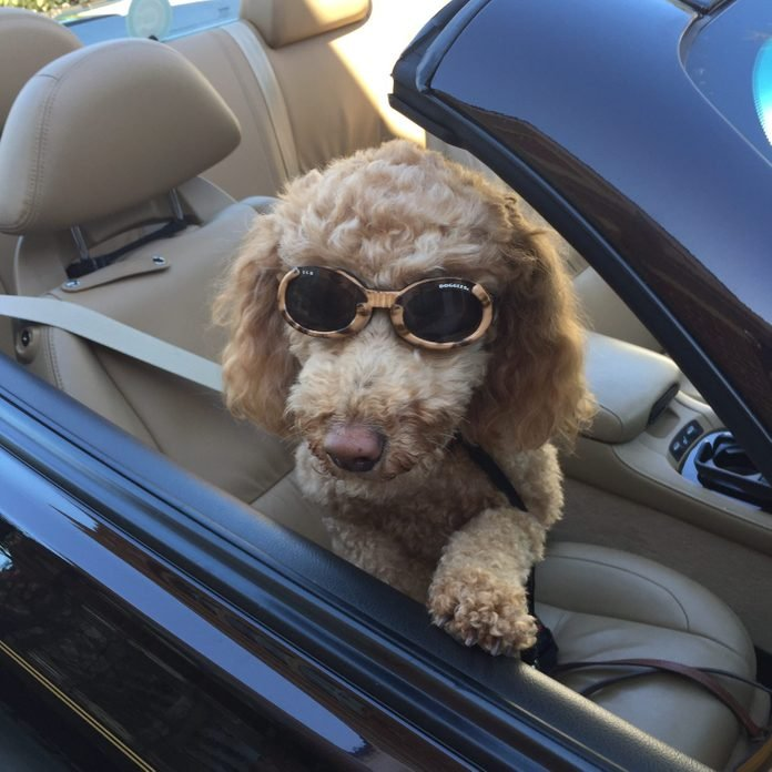 Dog sitting in convertible with sunglasses