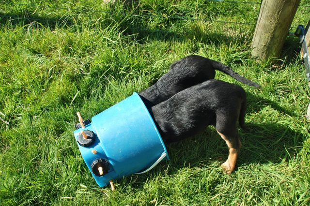 Two dogs stuck in a barrel