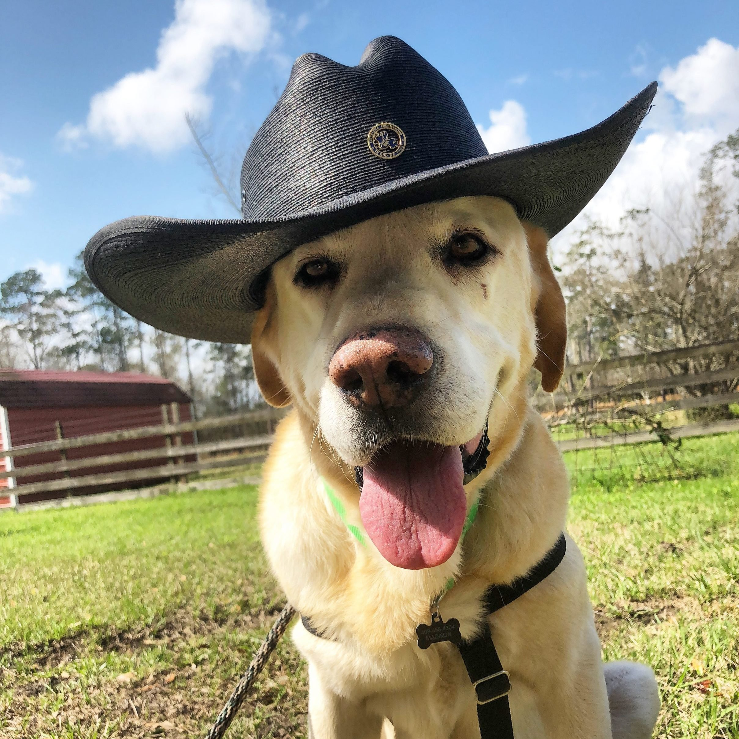 Yellow lab with a cowboy hat