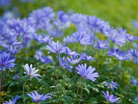 9 best flowers for garden design readers digest also known as the winter windflower anemone blanda blue thrives in partial shade its purply blue daisy like flowers will add a festive touch to your mightylinksfo