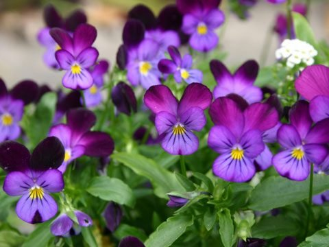 9 best flowers for garden design readers digest viola is a huge genus of flowering plants including some 400 to 500 species leaves of these species are usually heart shaped and scalloped shaped mightylinksfo