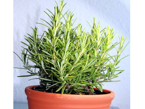 12. Keep a rosemary plant in your office.