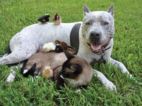 The Pitbull, the Siamese Cat and the Chicks