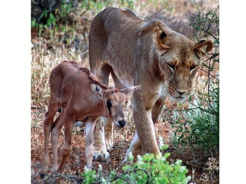 The Lioness and the Baby Oryx