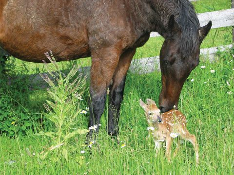 The Mare and the Fawn