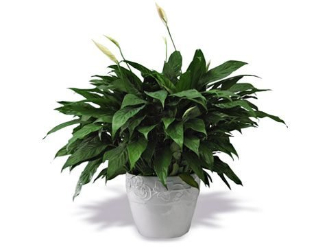houseplants that filter air, peace lily