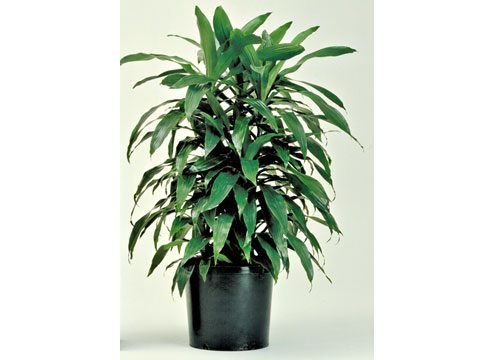 houseplants that filter air, Janet Craig