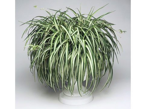 Houseplants and air care reader 39 s digest for Are spider plants poisonous to cats