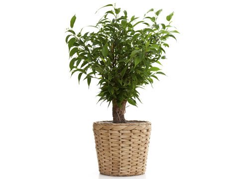 houseplants that filter air, fig tree