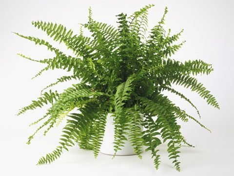 7. Boston Fern