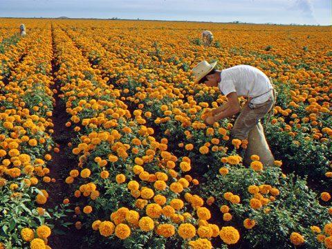 Field of Marigolds, Sinaloa, Mexico