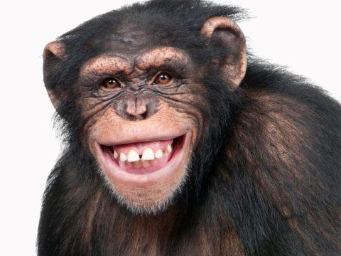 jokes chimpanzee