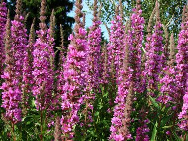 landscaper secrets purple loosestrife