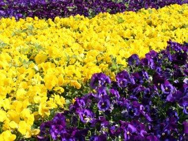 landscaper secrets purple and yellow flowers