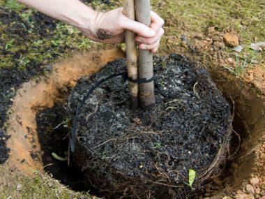 landscaper secrets planting tree