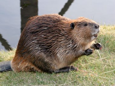 gross foods you're eating, beaver