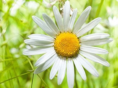 healing plants to grow, chamomile