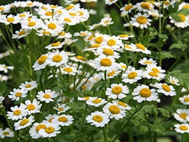 healing plants to grow, feverfew