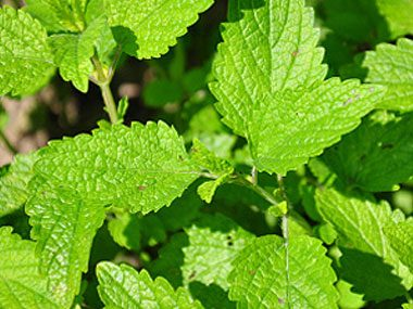 healing plants to grow, lemon balm