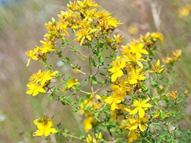 healing plants to grow, St. John's wort