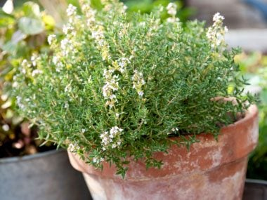 healing plants to grow, thyme