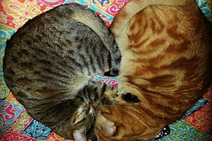 Two cats sleeping in a heart position
