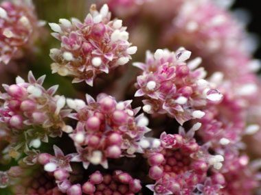Try butterbur extract.