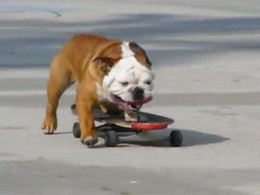 3. Skateboarding bulldog