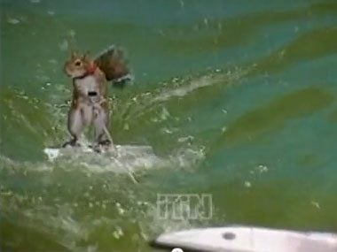 animal olympics, squirrel surfing