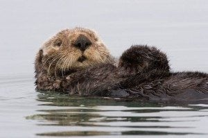 Sea Otters: Adorable Partners in the Fight Against Global Warming