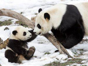 Tai Shan panda