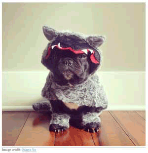 This Frenchie Can't Wait for Halloween, Either