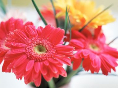 flowers for Valentine's Day, gerbera daisies