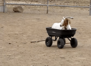 Goats are replacing farmers.
