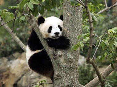 National Zoo Panda