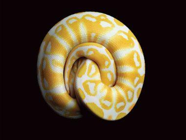 Albino Black Pastel Royal Python