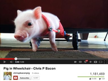 A wheelchair for piglet Chris P. Bacon