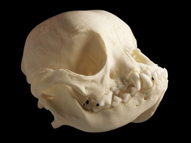 Whose Skull Is This?
