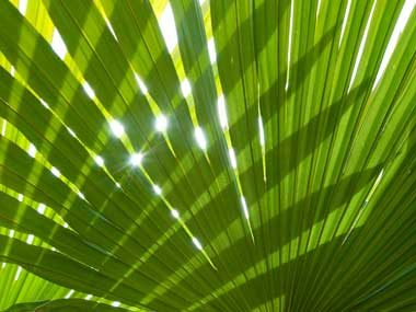 Palm (palm leaves)