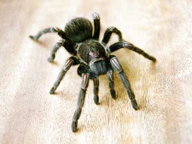 Would You: Stick Your Foot in a Box With a Tarantula?