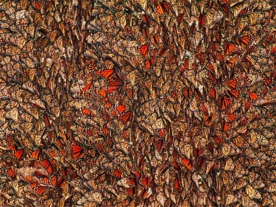 ... millions of monarch butterflies.