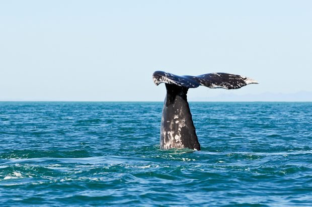 The Sailor And The Whale Survival At Sea Readers Digest - Rare moment 40 ton whale jumps completely out of the water