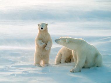 Polar bears are vicious predators