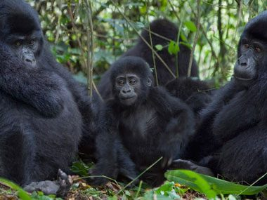 A Whoop of Gorillas
