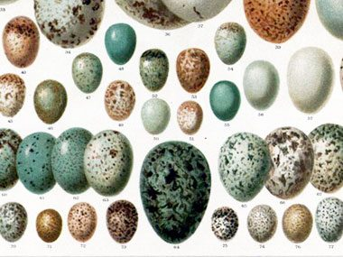 Oologists collect birds' eggs!