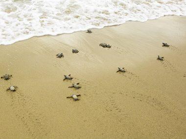 Leatherback Sea Turtles: travel 10,000 miles or more